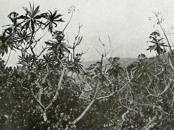 Santalum fernandezianum