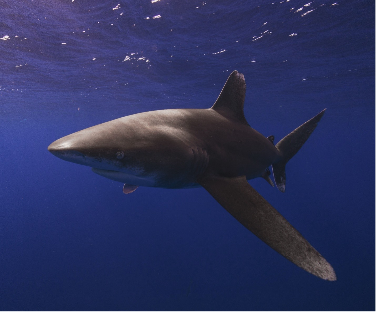 Oceanic Whitetip Shark (Carcharhinus longimanus). It was once one of the most abundant oceanic shark species in tropical seas worldwide but is now rare in some regions.