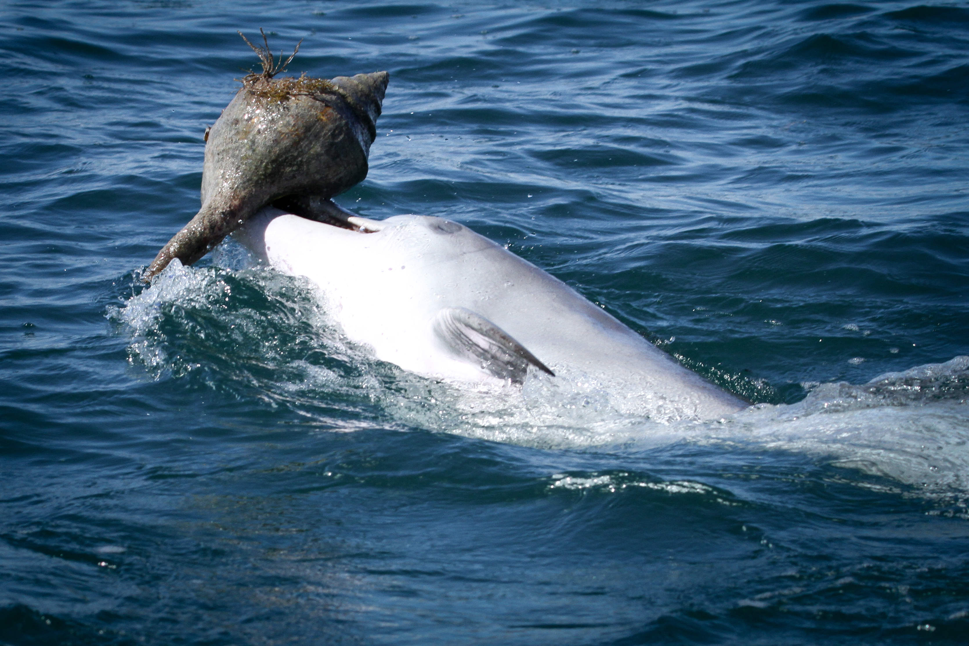 A capture of 'shelling' — a bottlenose dolphin in Shark bay catching prey using an empty shell